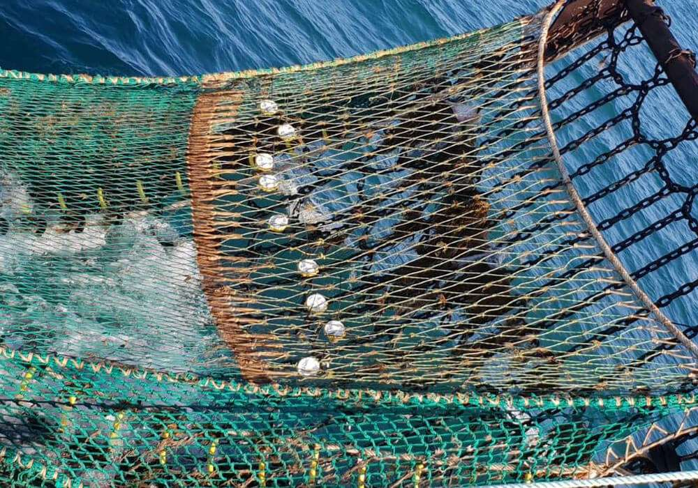 Pisces attached to fishing net