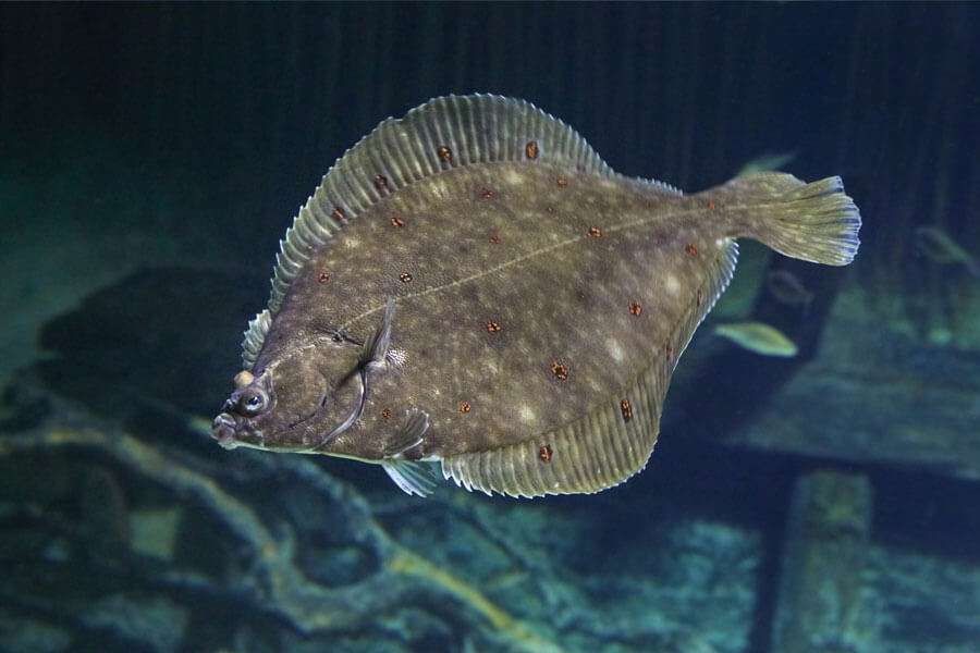 Plaice Swimming